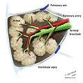 Secondary-pulmonary-lobule-illustration.jpg
