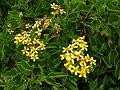 Senecio angulatus clusters.jpg