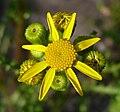 Senecio vernalis calathidium crop.jpg