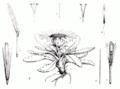 Senecio werneroides-illustration.png