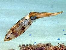 """Caribbean reef squid (""""Sepioteuthis sepioidea"""")"""