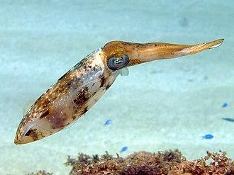 Squid - Caribbean reef squid (Sepioteuthis sepioidea)