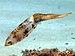 Sepioteuthis sepioidea (Caribbean Reef Squid).jpg