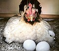 Serama kip (Gallus gallus domesticus) - Eitjes van Donna komen uit!.jpg
