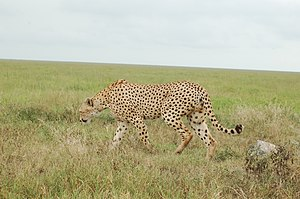Tanzanian cheetah - A cheetah in the Serengeti National Park, Tanzania