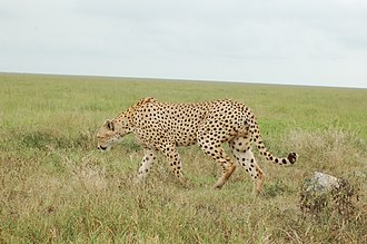 East African cheetah - A cheetah in the Serengeti National Park, Tanzania