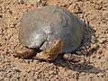 Serrated Hinged Terrapin (Pelusios sinuatus) on the bank ... (32016494762).jpg