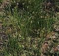 Setaria apiculata habit.jpg