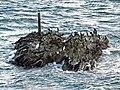 Shags and Shag Rock, St Anthony Head - geograph.org.uk - 1576575.jpg