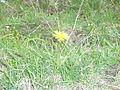 Shar Planina Flora (1).JPG