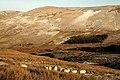 Sheep at Shielhope Sike - geograph.org.uk - 1111451.jpg
