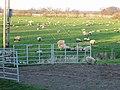 Sheep on grassland near Dilham - geograph.org.uk - 399589.jpg