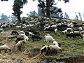 Sheep on the hillside of Tungnath (3531059008).jpg