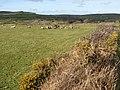 Sheep pasture - geograph.org.uk - 1803952.jpg