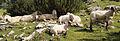Sheeps in Austria.jpg