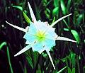 Shoals spider lily.jpg