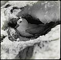 Silver-grey petrel or southern fulmar on nest.jpg