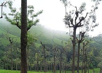 Grevillea robusta - Image: Silveroak