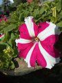 Single Petunia flower.jpg