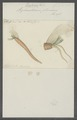 Siphonostomum plumosum - - Print - Iconographia Zoologica - Special Collections University of Amsterdam - UBAINV0274 102 15 0004.tif