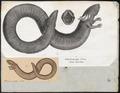 Siren lacertina - 1700-1880 - Print - Iconographia Zoologica - Special Collections University of Amsterdam - UBA01 IZ11400195.tif