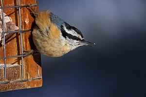 Suet - Red-breasted nuthatch feeding on suet