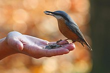 Photograph of a nuthatch standing on, and eating sunflower seeds from, an open hand