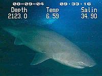 Six-gill shark.jpg