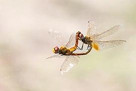 Skimmer (Dragonfly) mating in air.jpg