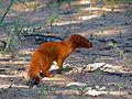 Slender Mongoose (Galerella sanguinea) (6856829480).jpg