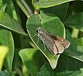 Small Branded Swift (Pelopidas mathias) in Hyderabad, AP W IMG 0625.jpg