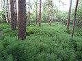 Snake grass (Equisetum) in Kortepohja.jpg