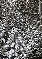 Snow Covered Trees -- Drummond Island during the winter - 49694278818.jpg