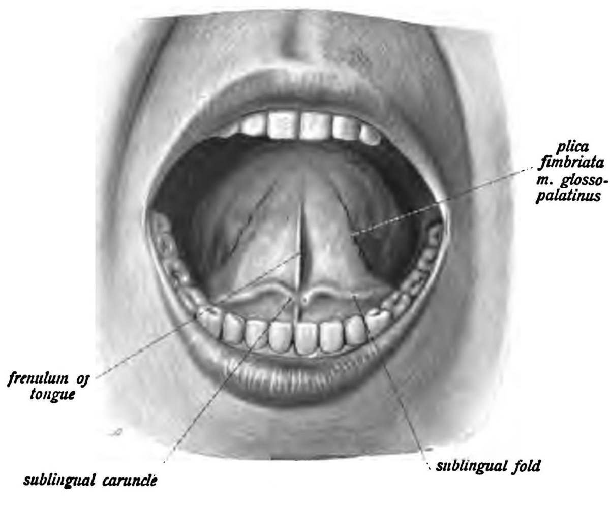 Sublingual papilla