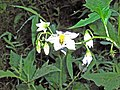 Solanum carolinense (homeredwardprice) 001.jpg
