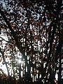 Soleil à travers les branches d'un noisetier à Grez-Doiceau 001.jpg