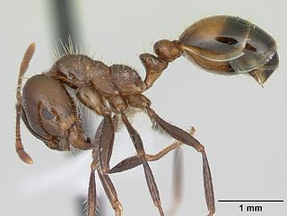 Red imported fire ant - WikiMili, The Free Encyclopedia