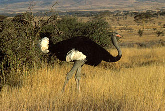 Ostrich - A male Somali ostrich in a Kenyan savanna, showing its blueish neck