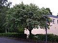 Sorbus-aria-goe01.jpg