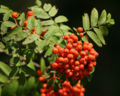 Sorbus aucuparia owoce 744.jpg