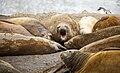 SouthShetland-2016-Livingston Island (Hannah Point)–Southern elephant seal (Mirounga leonina) 01.jpg