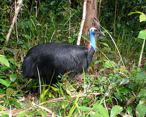 Southern Cassowary in rainforest