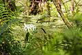 Southern swamp crinum (24712789740).jpg