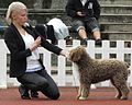 Spanish Water Dog in Tallinn 2.JPG