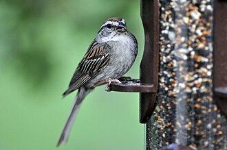 Chipping sparrow - A chipping sparrow at a suburban bird feeder
