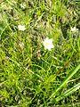 Spergula arvensis2pl.jpg