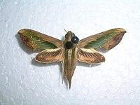 Sphingidae8Mudigere.jpg