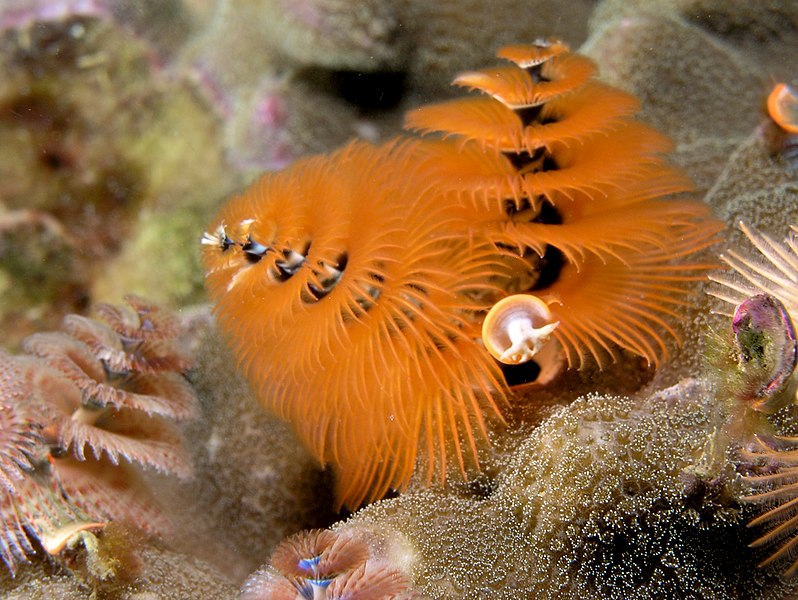 File:Spirobranchus giganteus (Orange Christmas tree worm).jpg