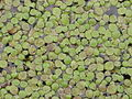 Spirodela polyrrhiza 00.jpg