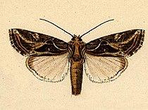 Spodoptera pulchella.JPG